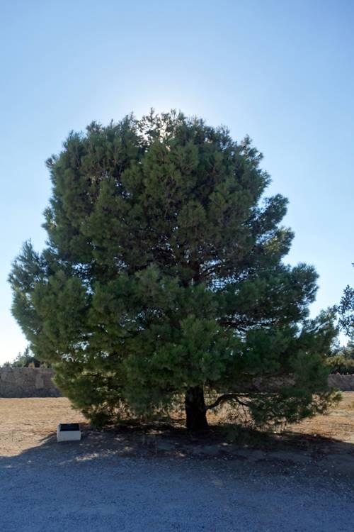 Lone Pine Cemetery Tree